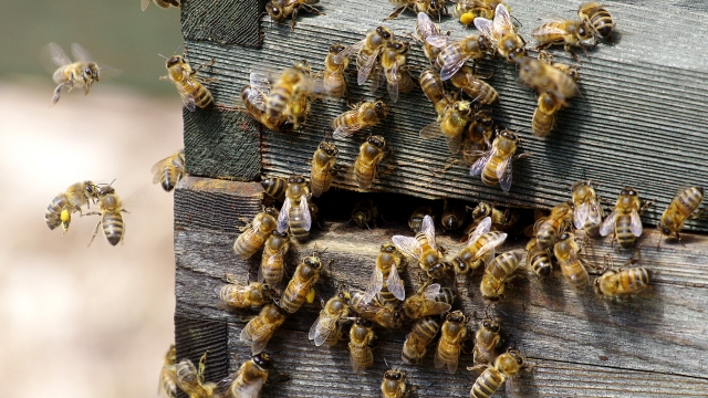 Honey Bees [Apis mellifera] at the entrance to a hive.