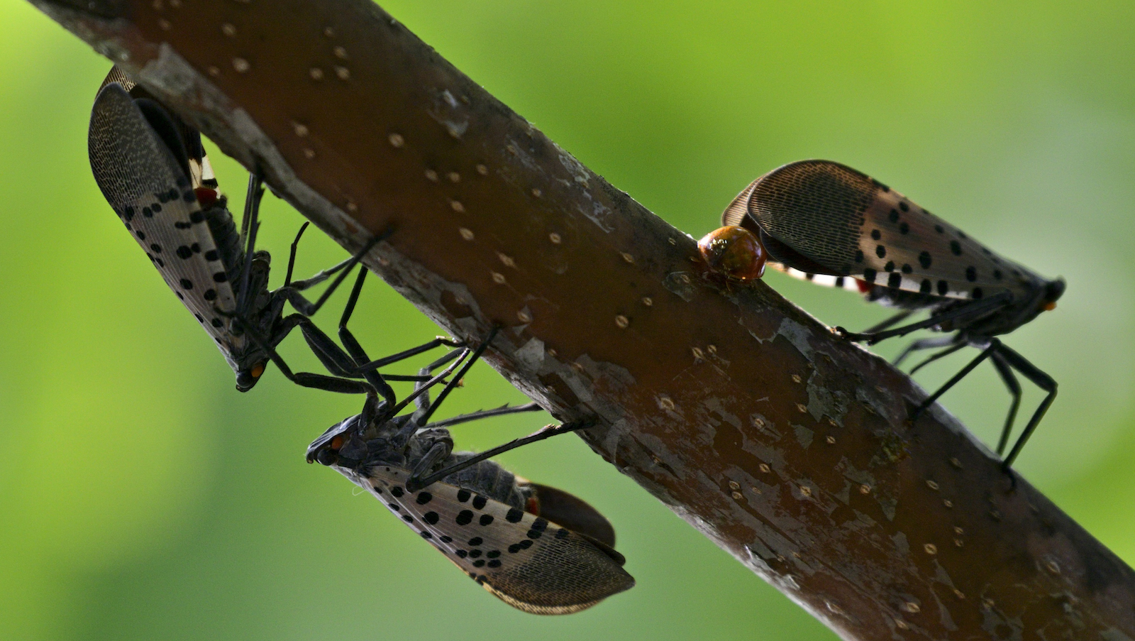 Spotted Lanternflies on a twig