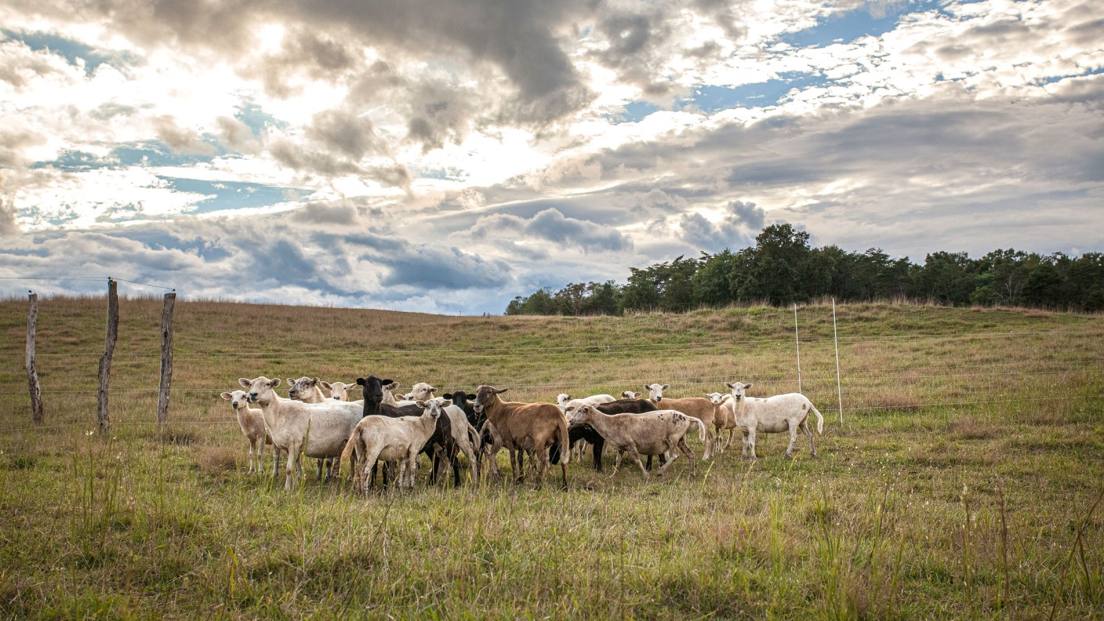 Livestock gather near the fence line