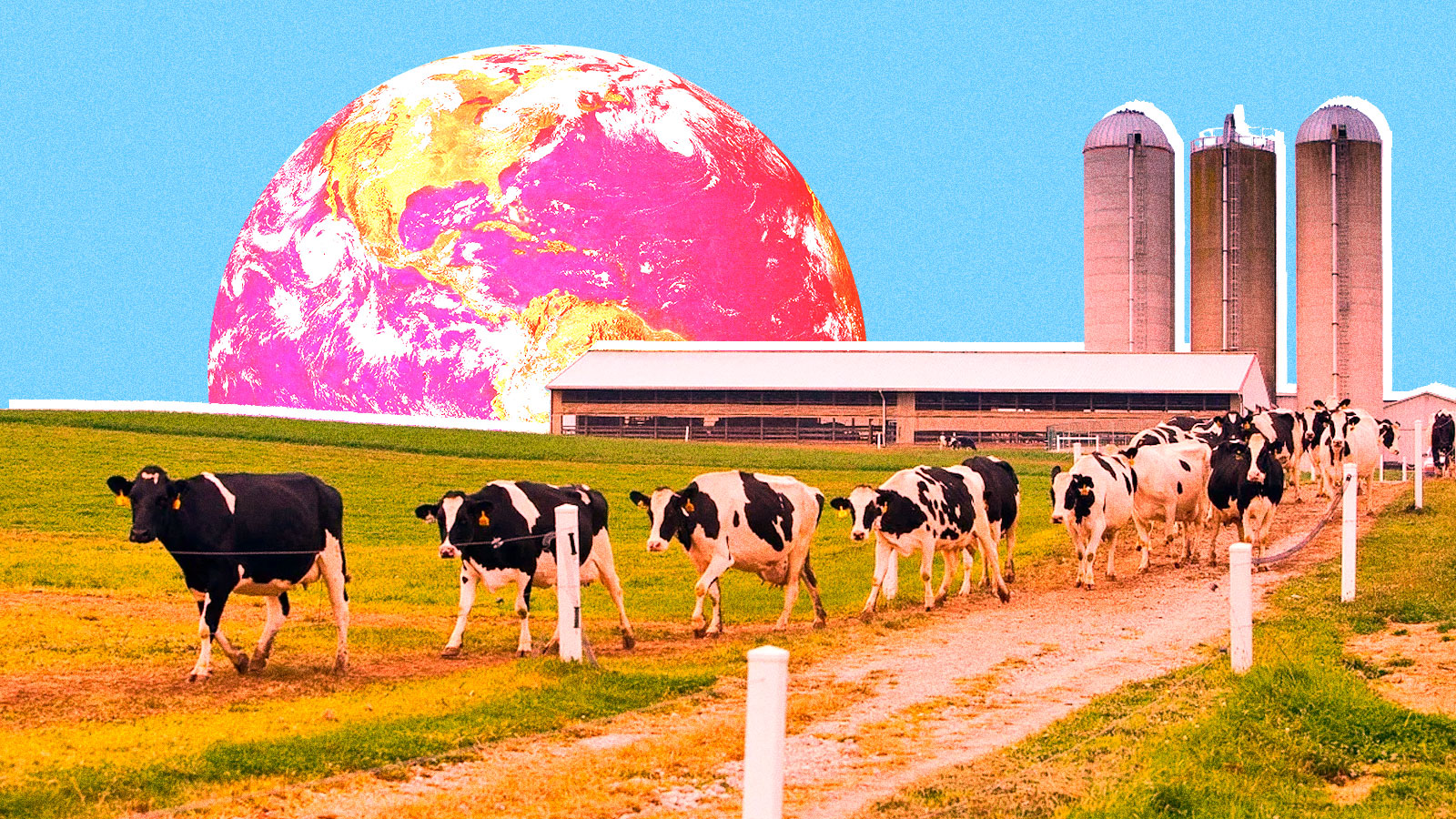 dairy cows with planet