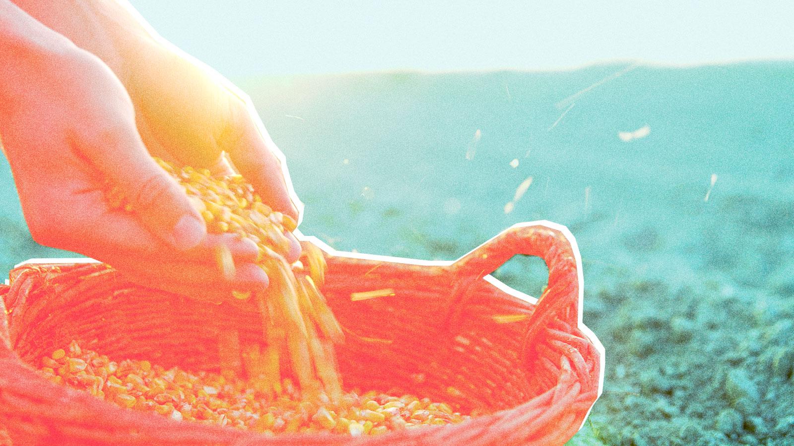 Hands spilling corn into basket