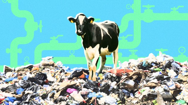 A cow standing on top of a pile of garbage with pipes in the background