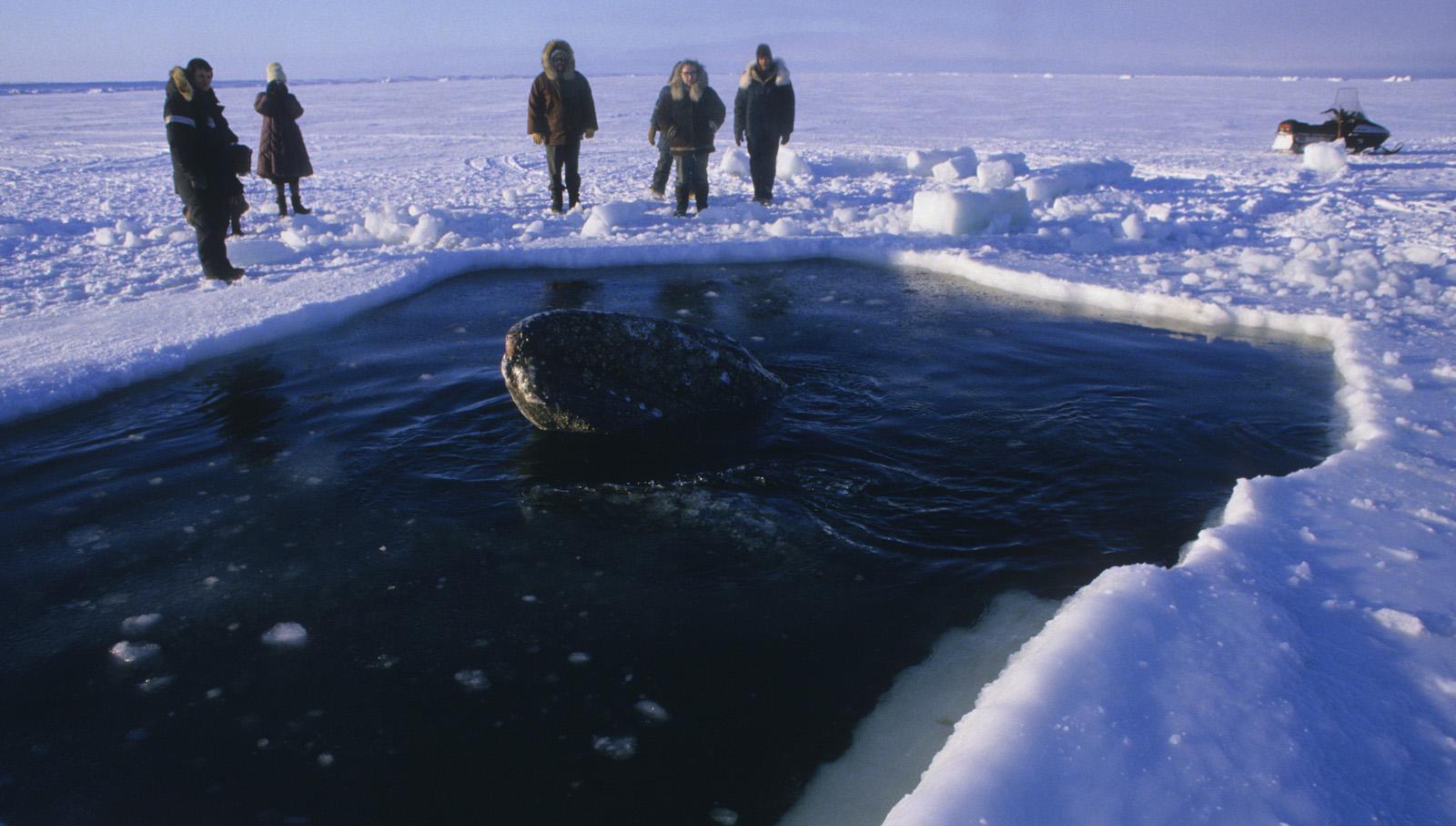 Whale Rescue barrow AK