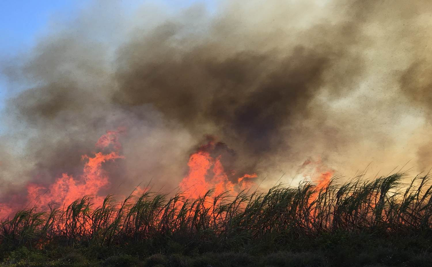 Flames envelope sugarcane stalks in a field near Clewiston.
