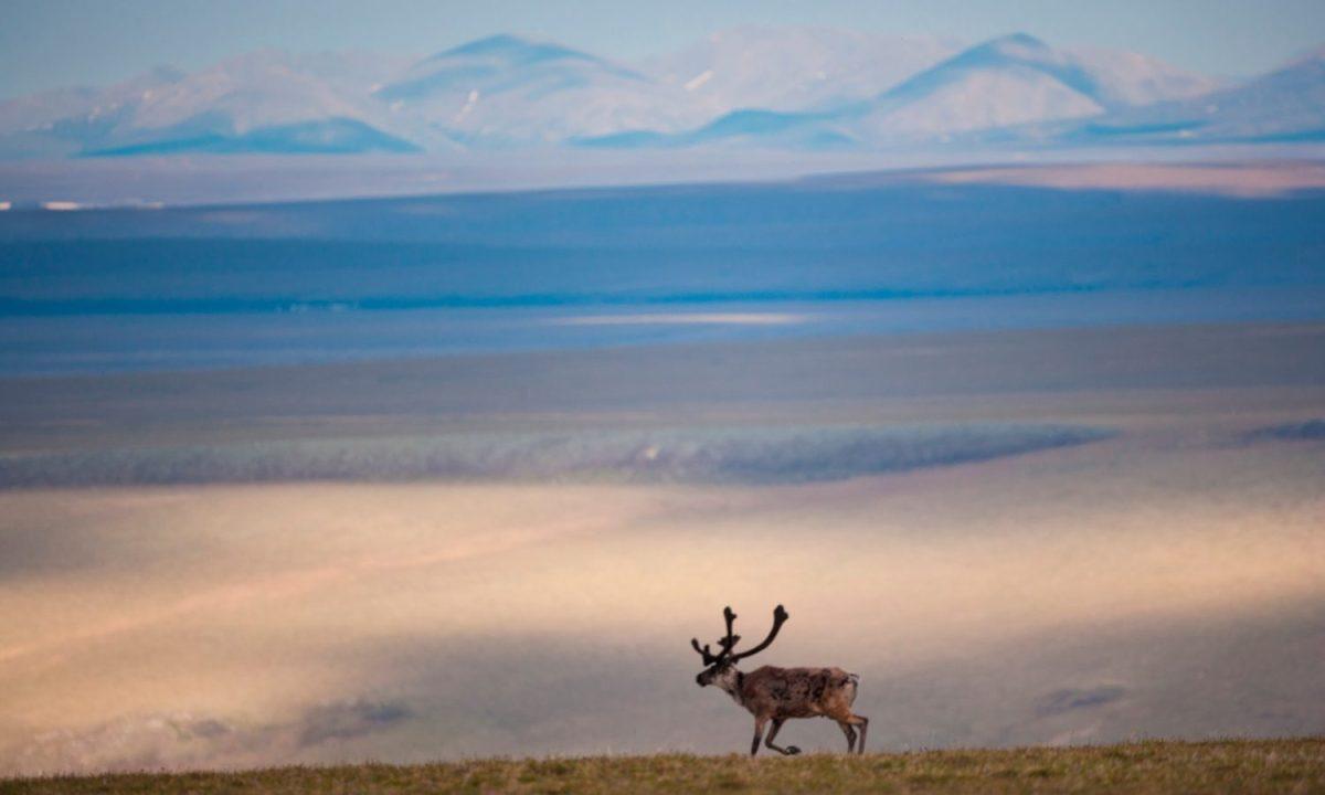 A caribou in the Arctic National Wildlife Refuge, Alaska, USA