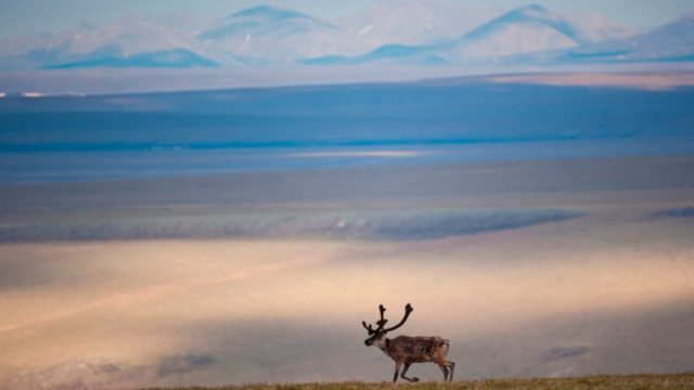 A caribou in the Arctic National Wildlife Refuge, Alaska, USA