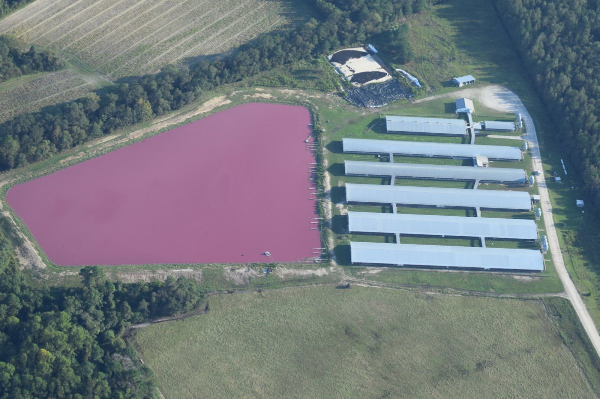 aerial photo of hog grow operation in Sampson county with pink waste lagoon