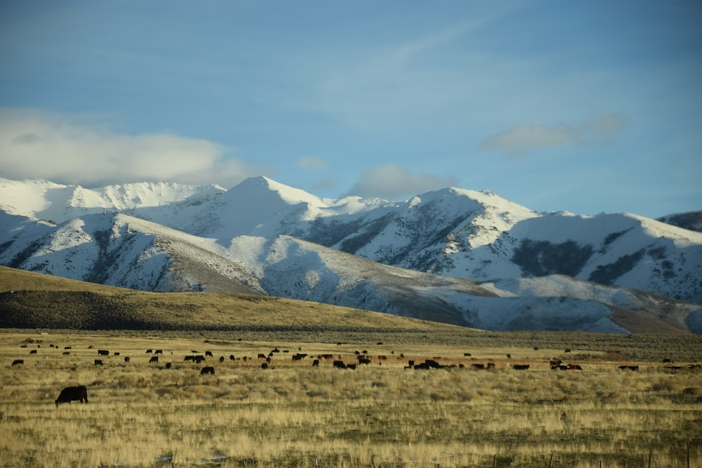 A photo of Orovada, Nevada, with snow-covered mountains in the background and cows grazing in the foreground