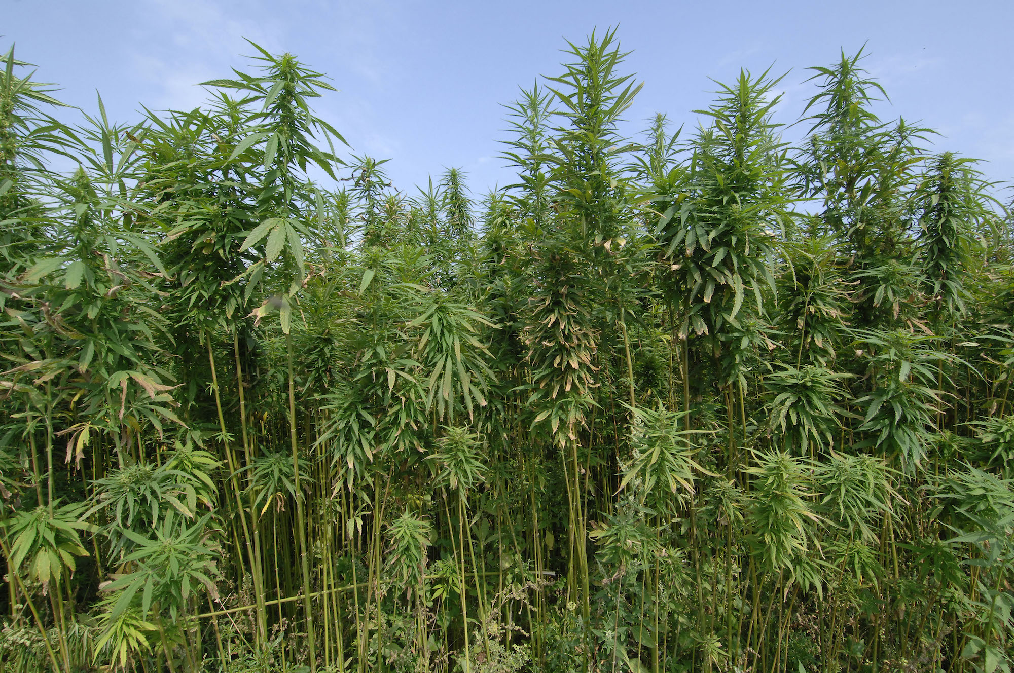 a photo of tall, green stalks of hemp against a blue sky