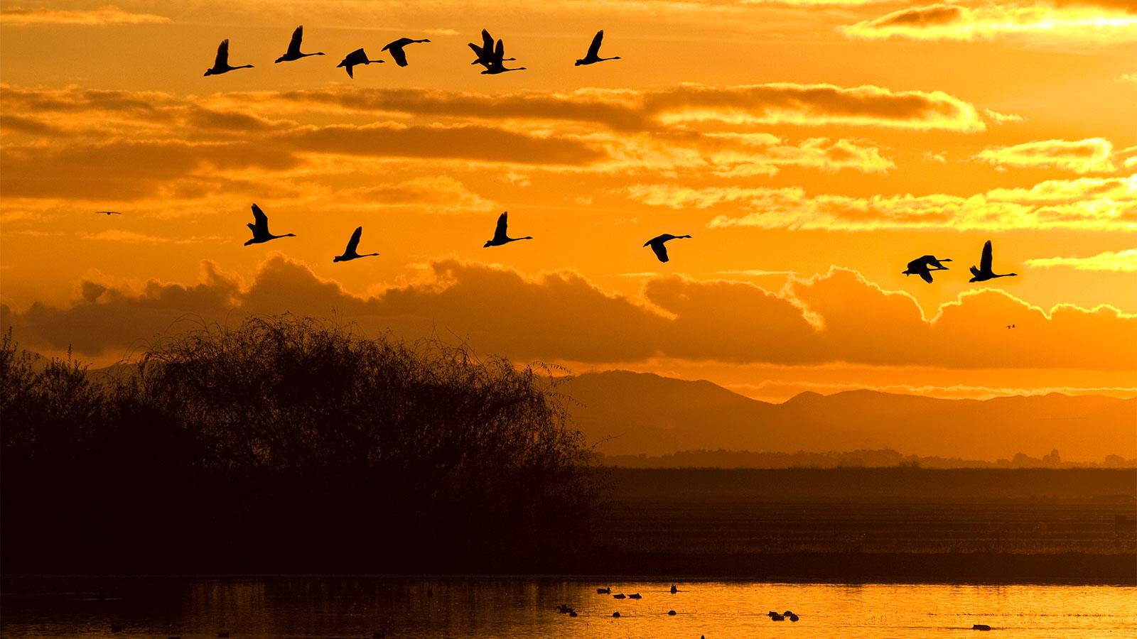 Migratory birds flying against an orange sunset
