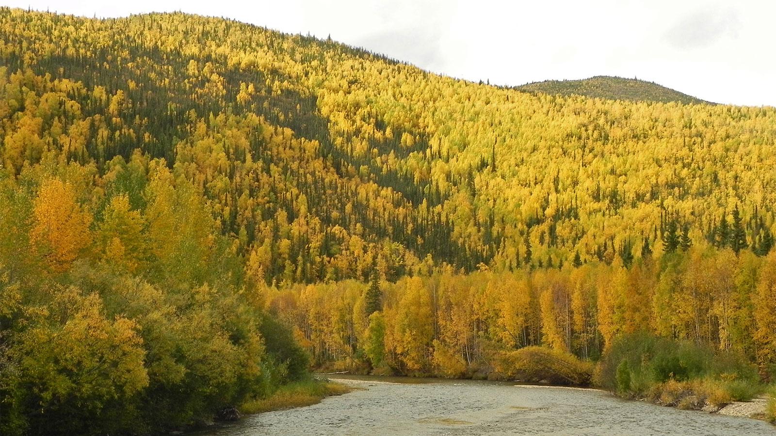 Aspens and birch trees growing near Fairbanks, Alaska