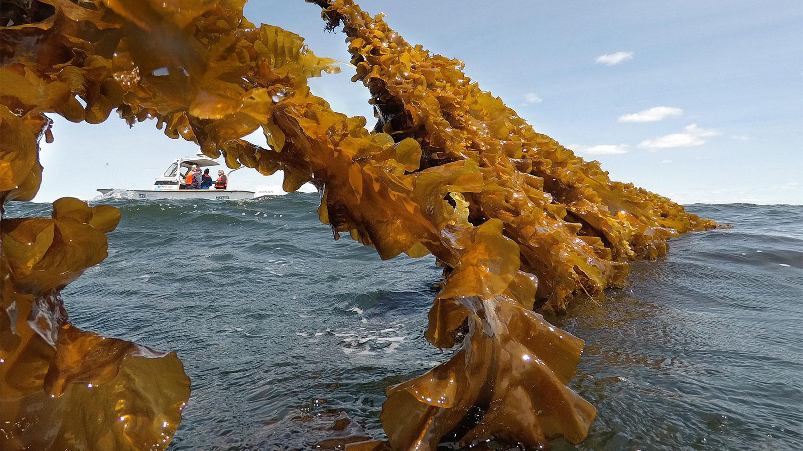 Kelp clinging to a rope connected to a boat