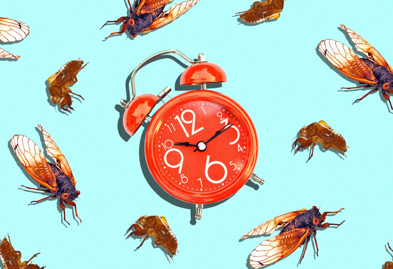 Collage with cicadas and cicada shells surrounding an alarm clock