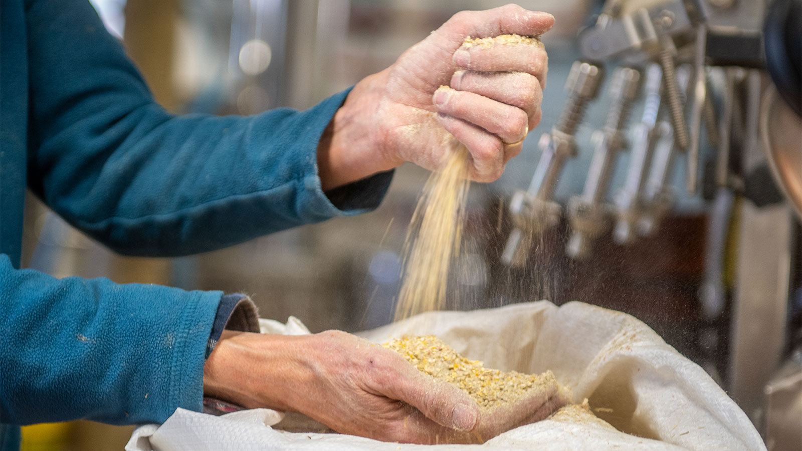 Hands pouring barley to make beer