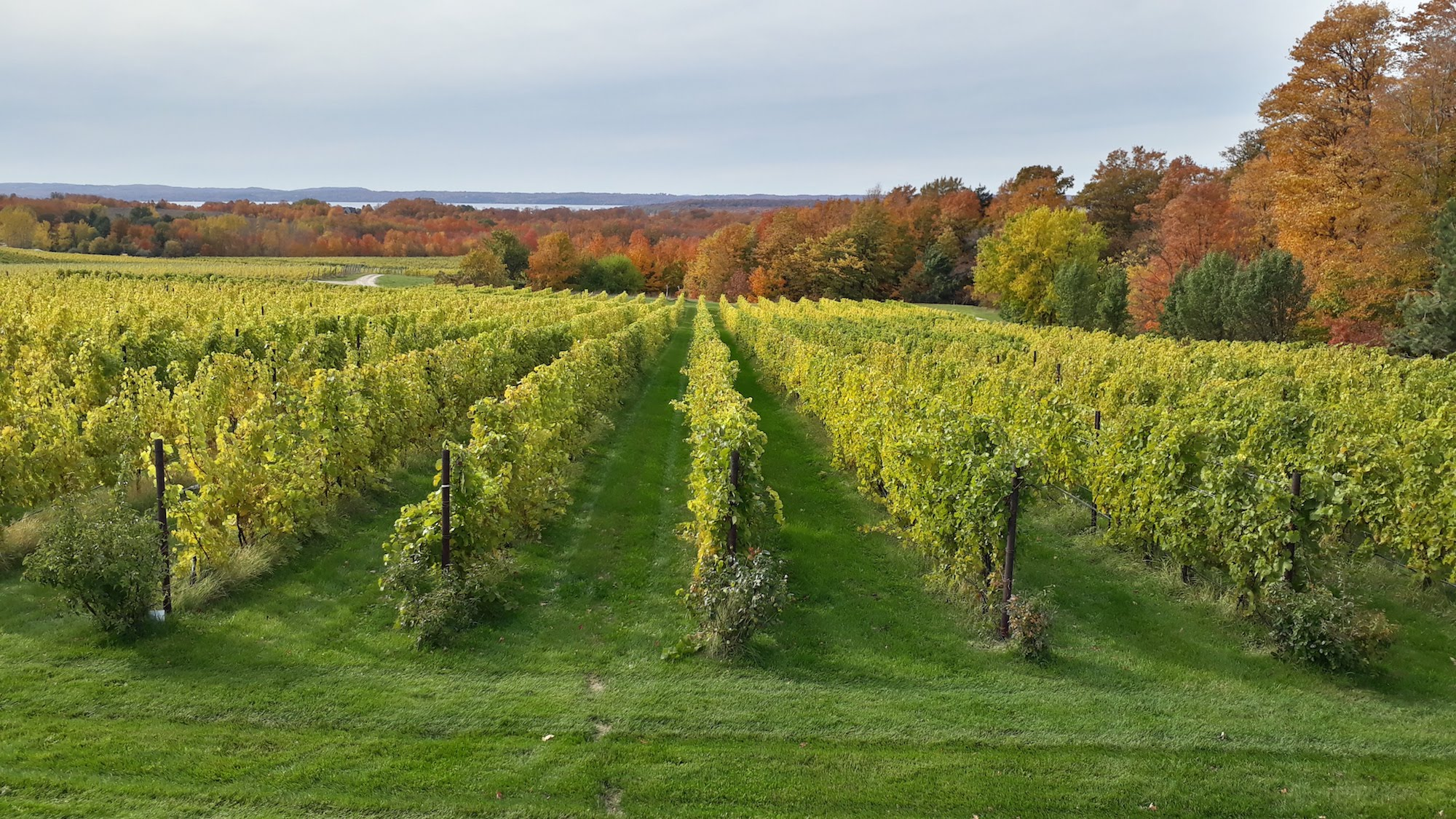 A photo of rows of green grape vines in the foreground. In the background, there are trees with fall foliage