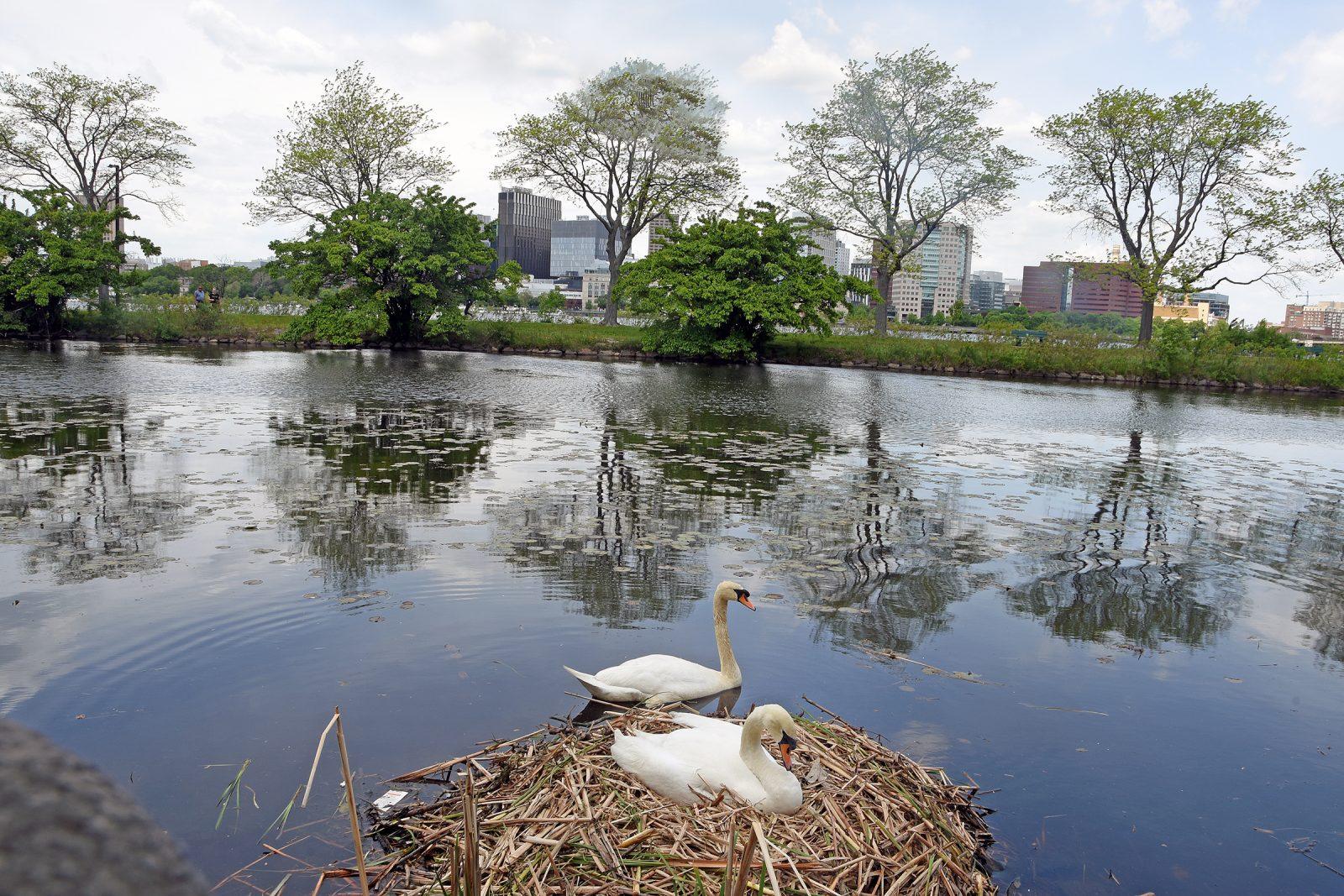 Swans nest on banks of Charles River
