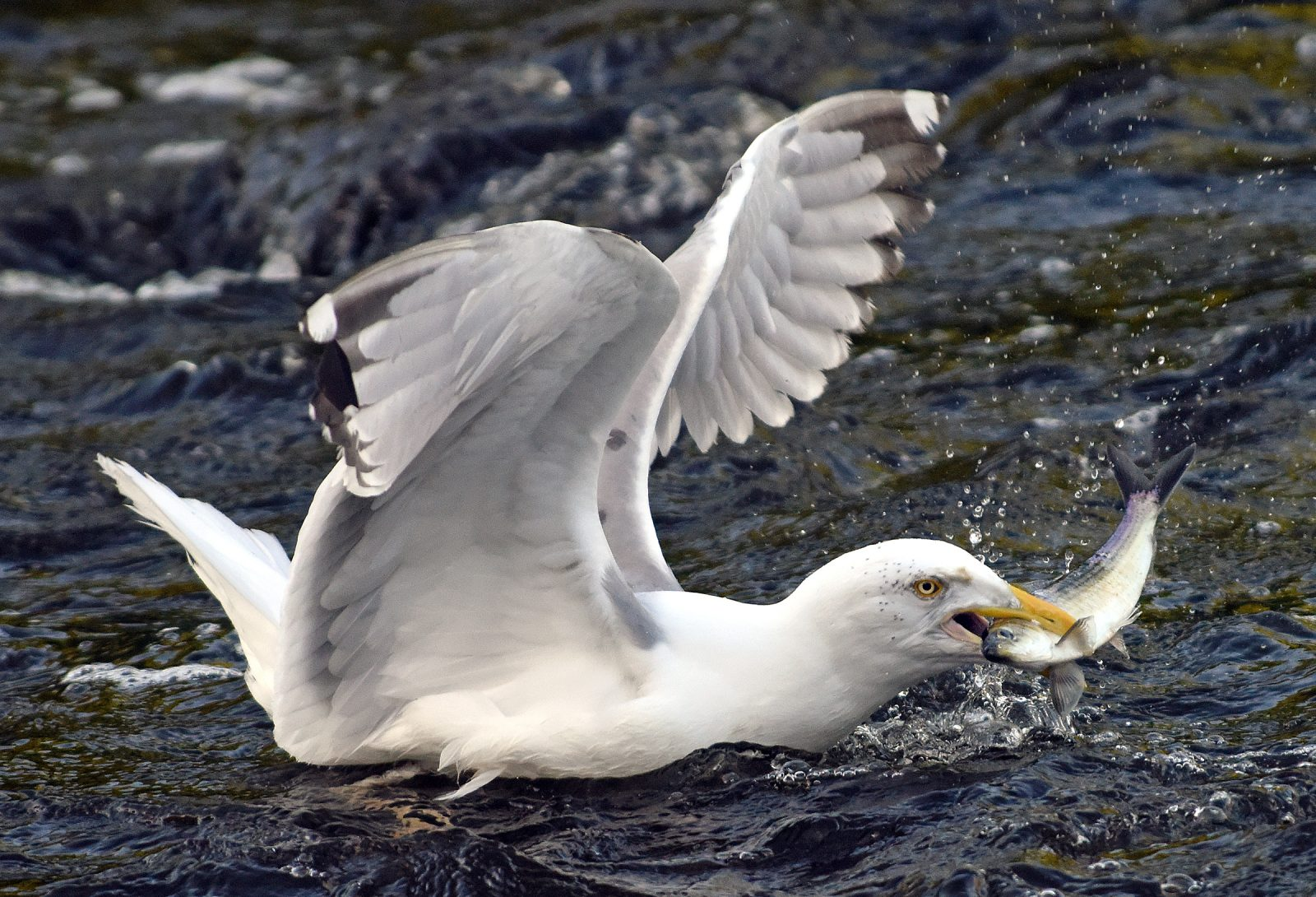 Gull with a river herring in its mouth