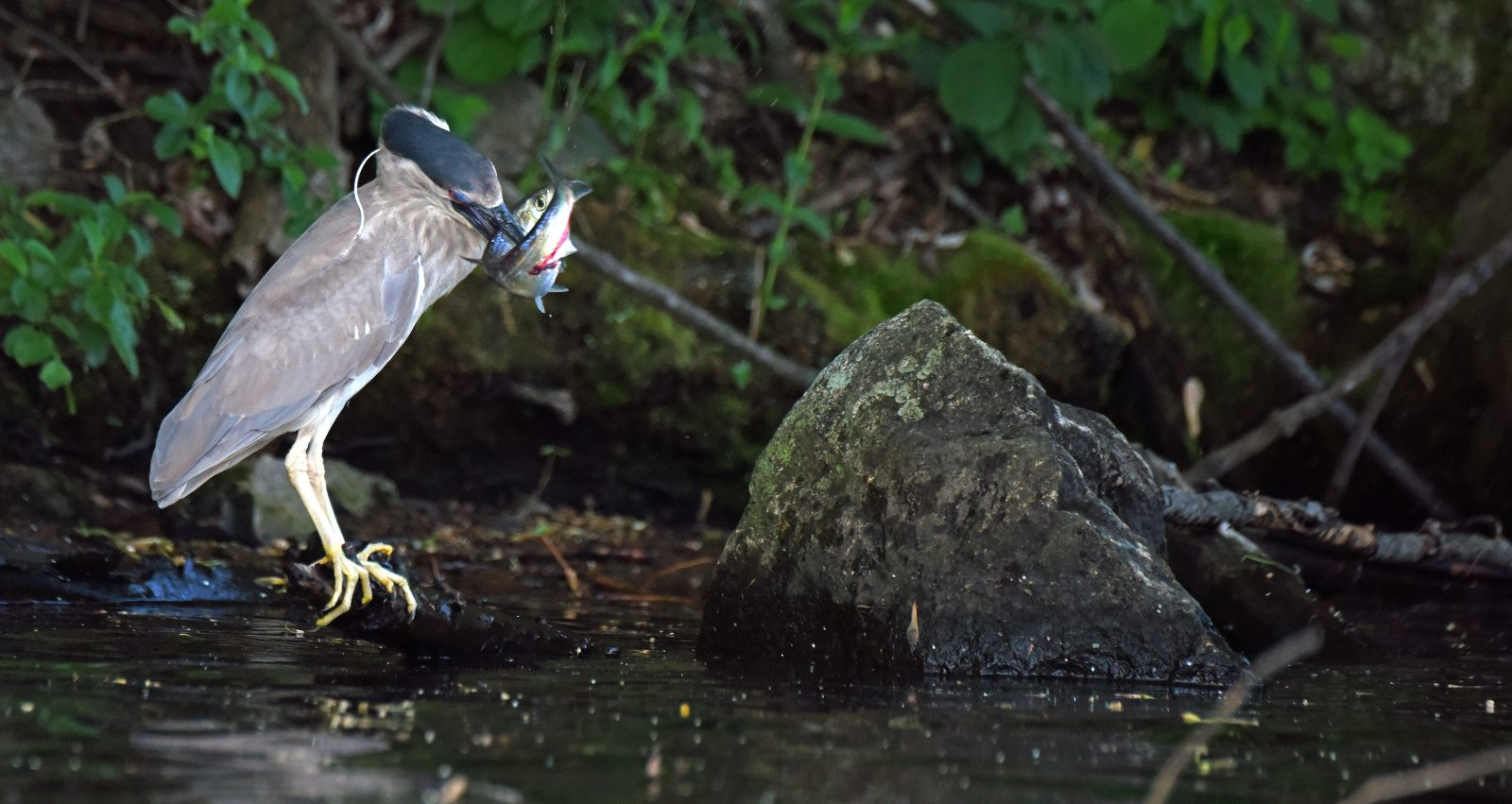 Black-crowned heron with a river herring in its mouth