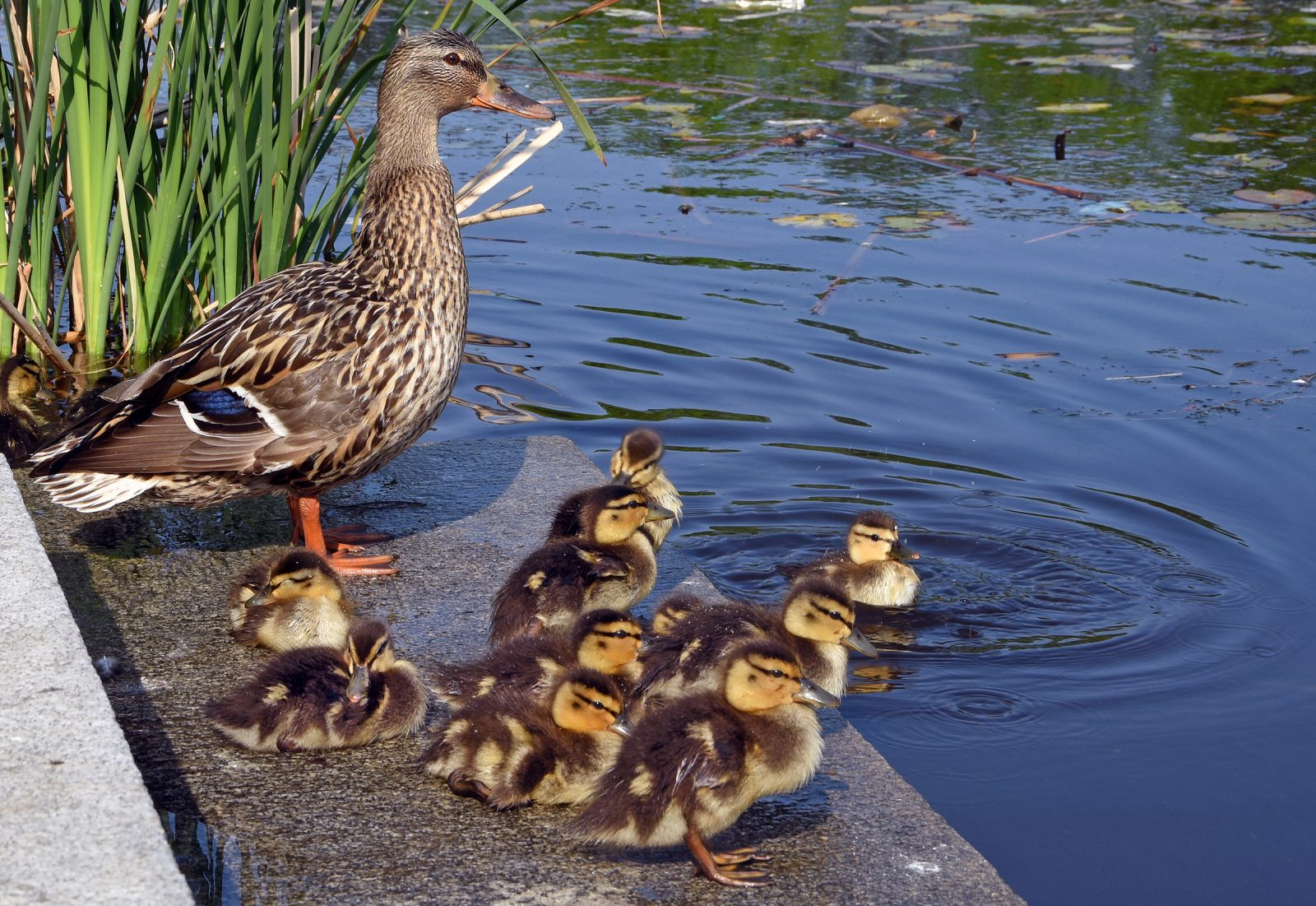 Family of mallards along the Charles River