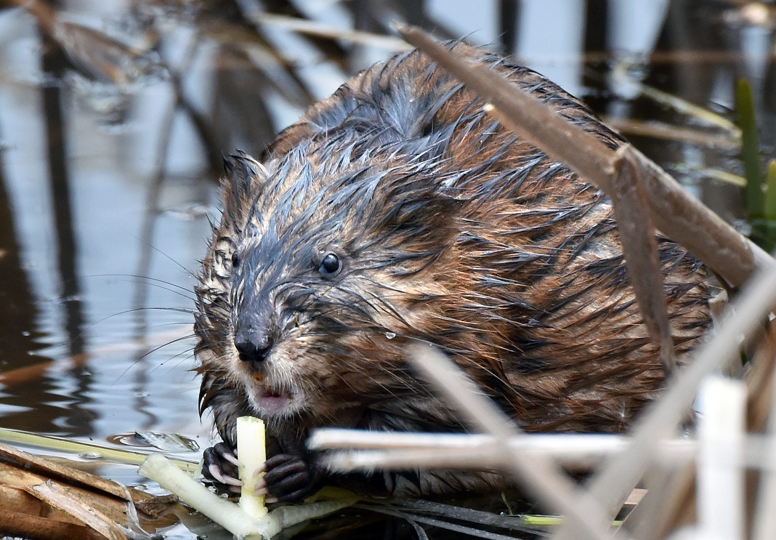 A muskrat in Great Meadows National Wildlife Refuge in Concord, Massachusetts