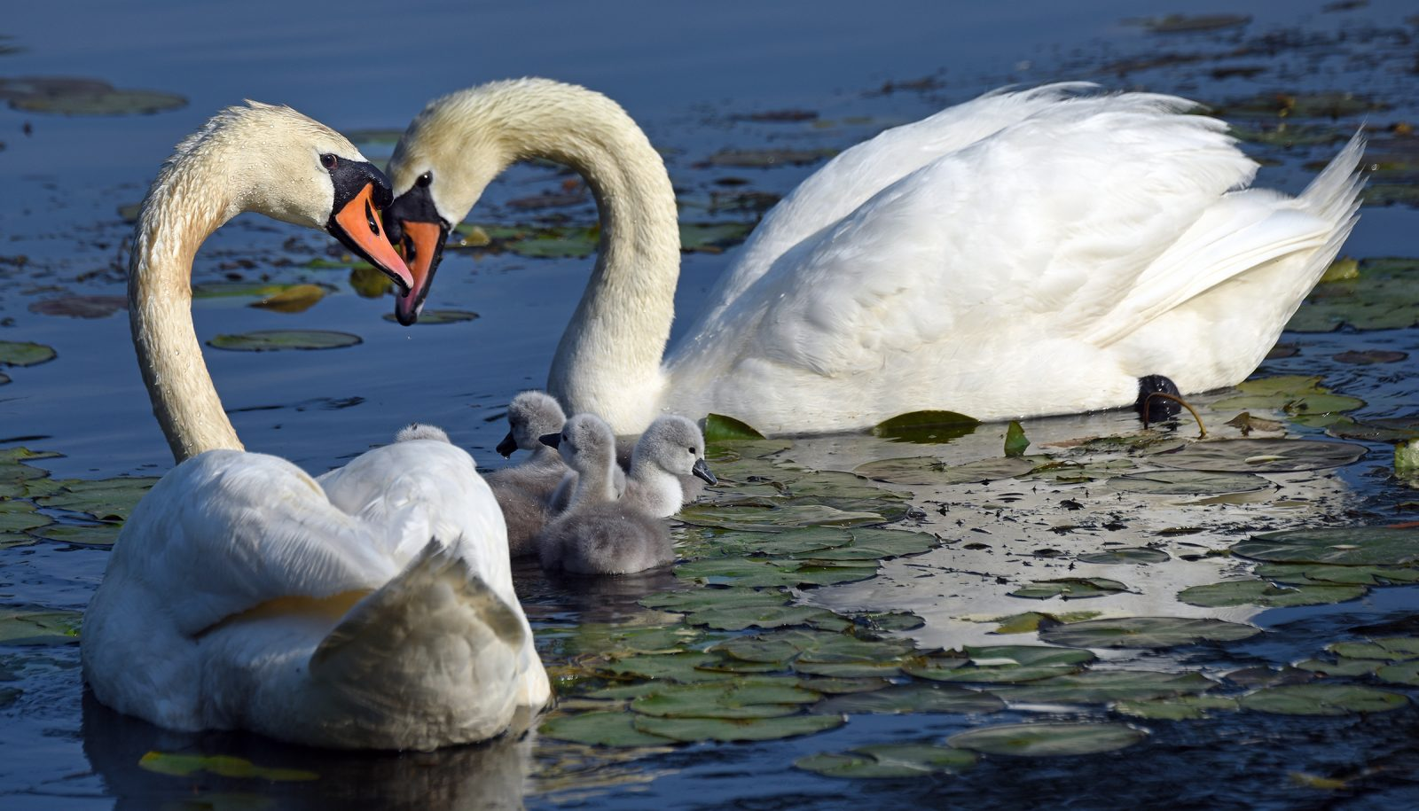Swans and their chicks on the Charles River