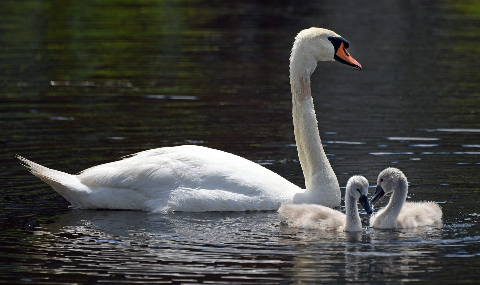 Father swan and two chicks on the Charles River