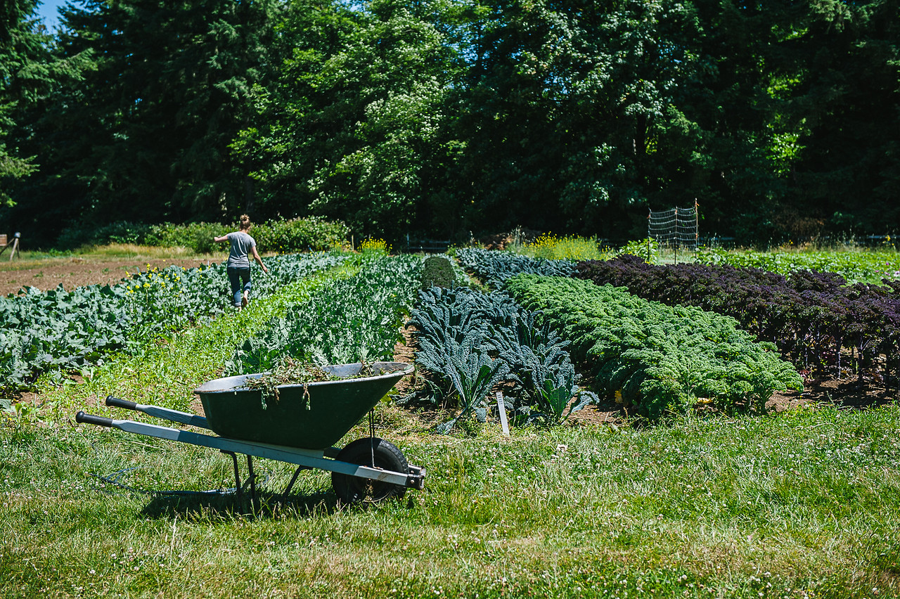 A lush green garden scene with rows of vegetables planted on a green lawn and a wheelbarrow in the foreground.