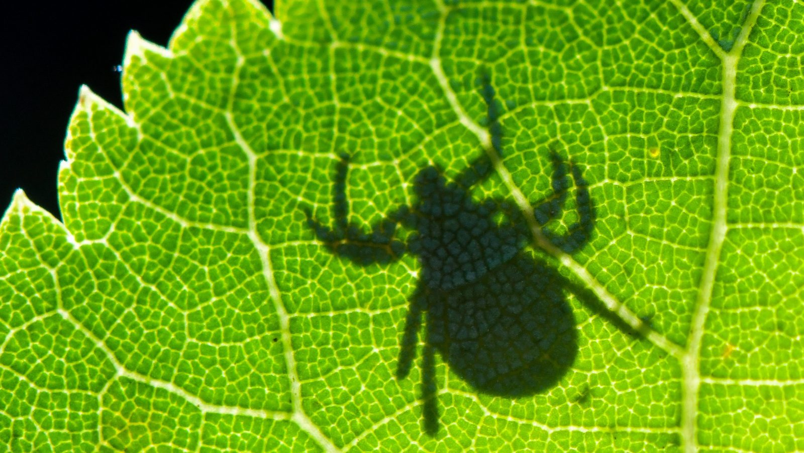 The shadow of a tick appears on a green leaf.