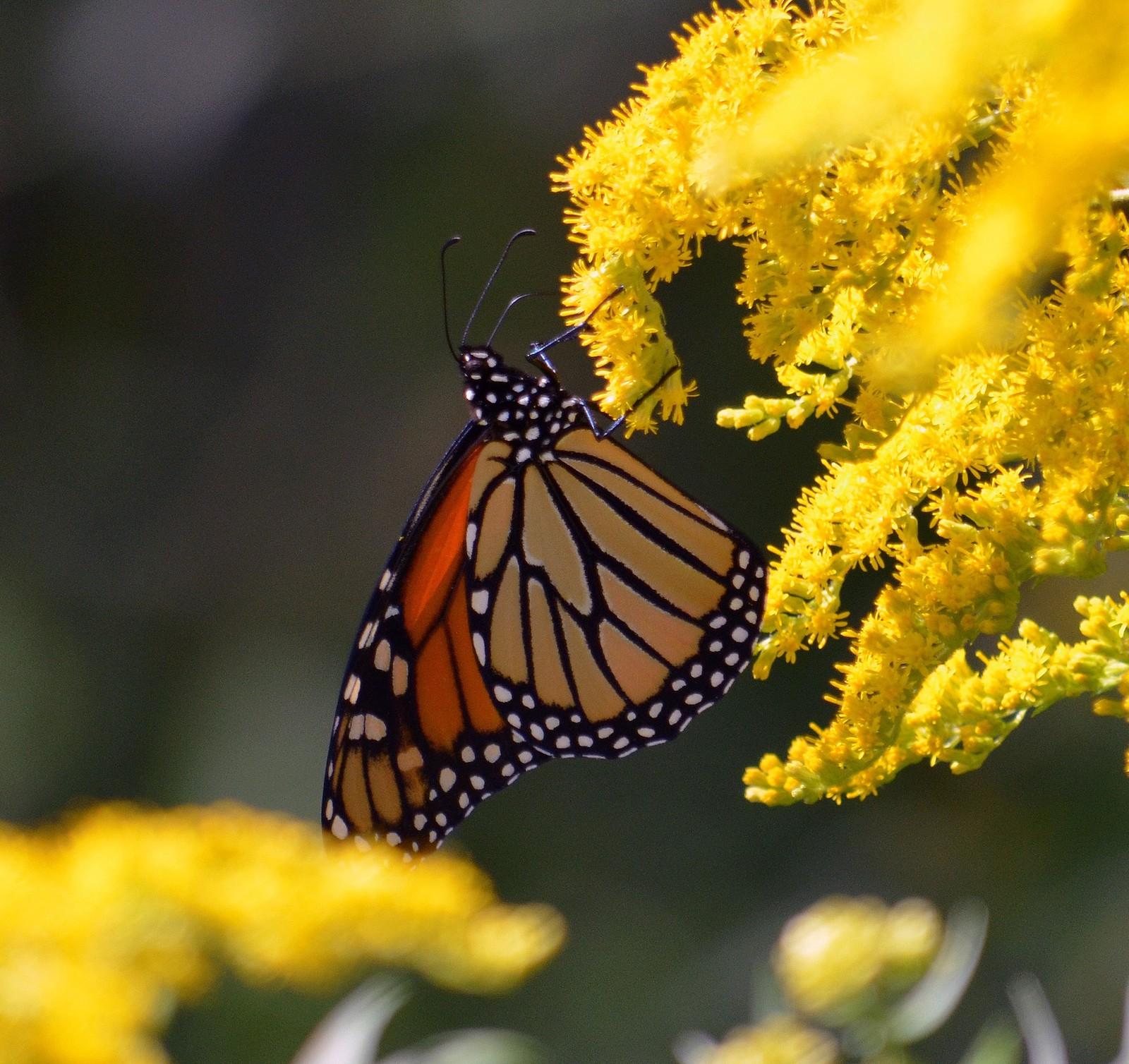 a monach butterfly on a golden flower spray