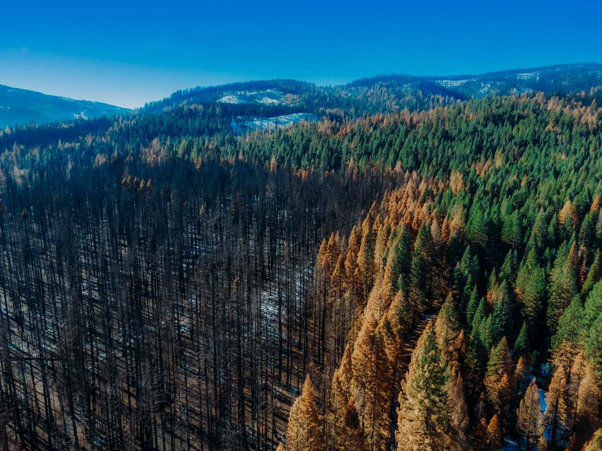 The burn line from the North Complex fire where trees transition rapidly from black to green.