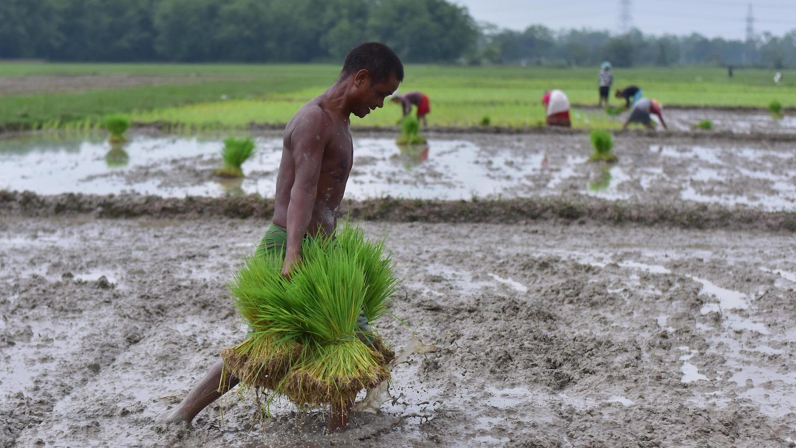 A farmer carries rice seedlings to be planted in a paddy field at a village in Nagaon district of India's northeastern state of Assam, on July 3, 2021.