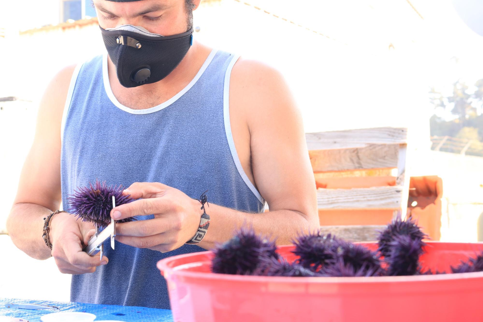 A man in a blue tank top and mask measures a purple urchin with a metal tool. In front of him, there is a large, red, plastic bucket of purple urchins.