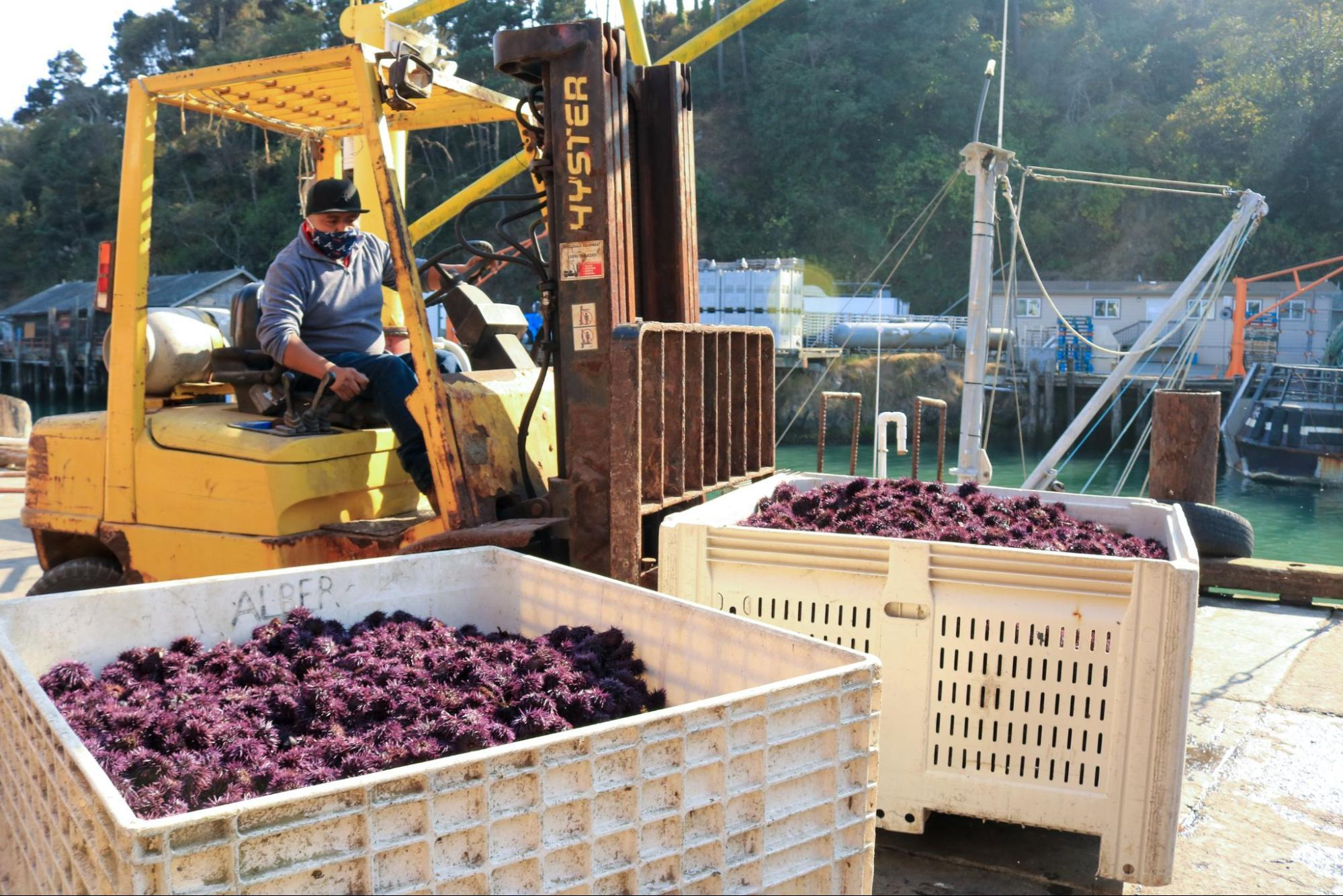 A man in a long-sleeved blue shirt and face bandana drives a yellow forklift with a large, white crate teeming with spiny purple orbs (urchins). Another large crate full or urchins stands in the foreground. In the back, water and docks are visible.