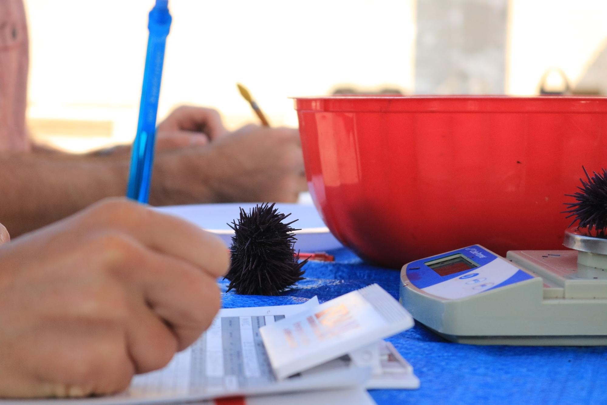 A close-up of hands holding a blue pen writing on a sheet of paper. On the same table is a blue cloth with a scale and a red plastic bowl. On the scale is a purple urchin. Another purple urchin in on the table next to the bowl.