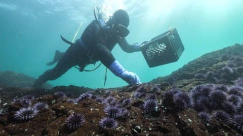 A scuba diver in a black neoprene body suit and purple gloves picks up purple sea urchins from the ocean floor. The sea floor is covered with purple urchins