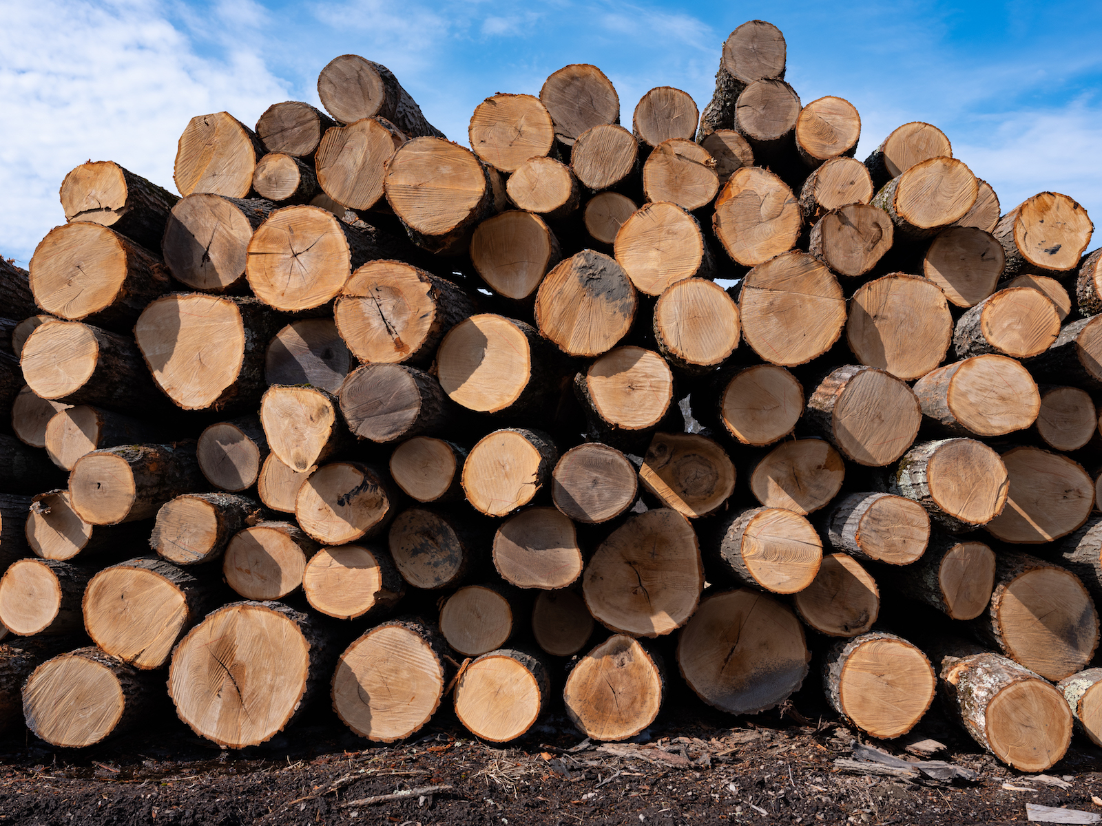 a big pile of maple logs as viewed from the cut end against a blue sky