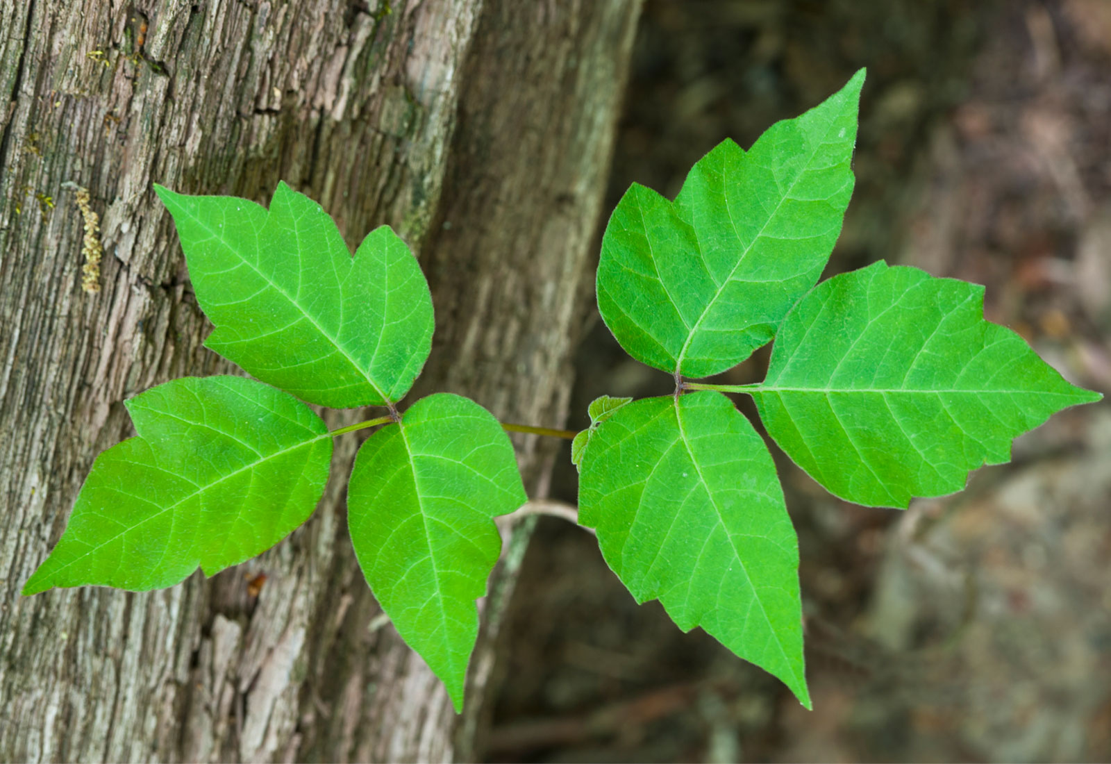 Close up of poison ivy leaves