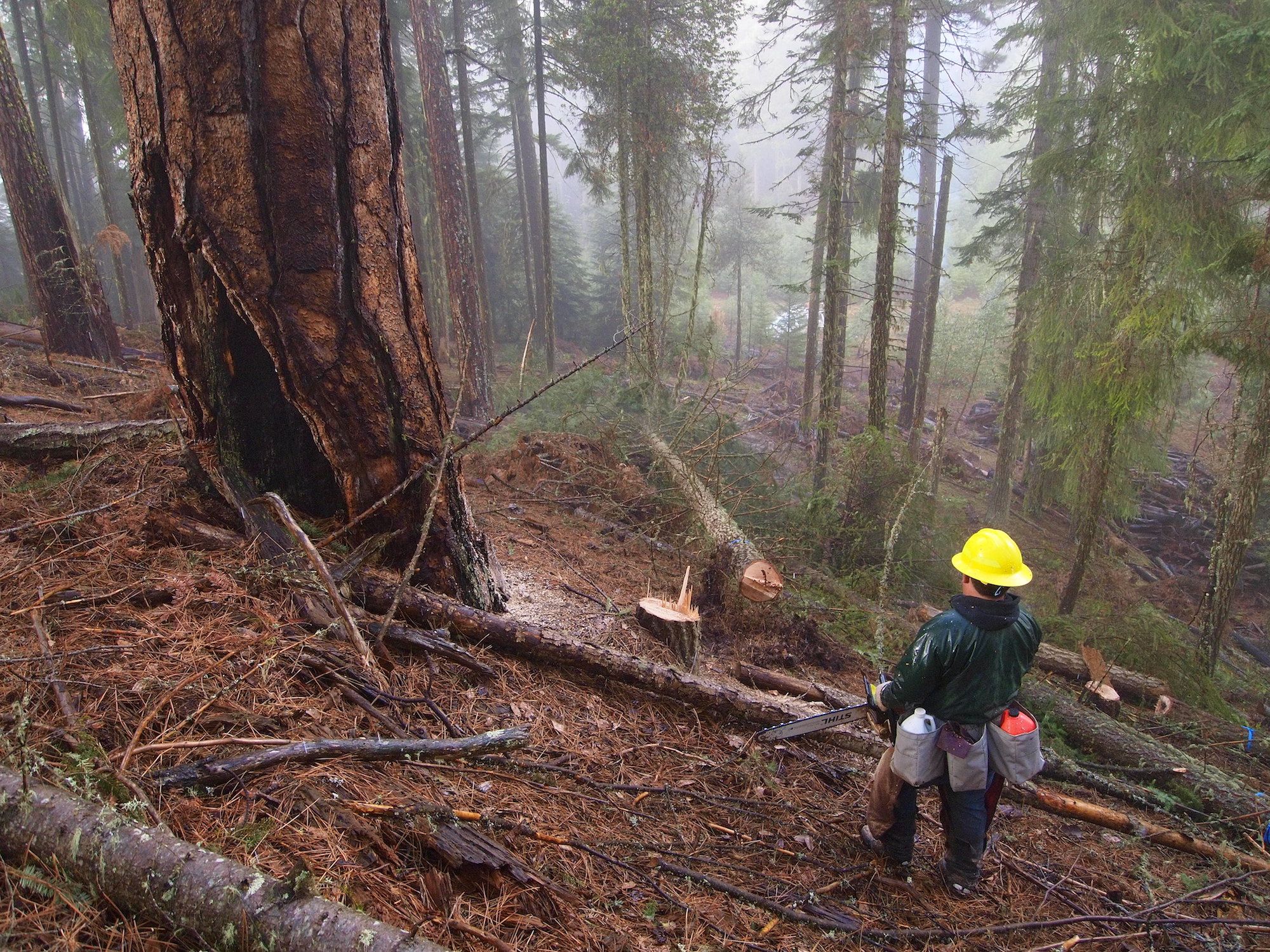 A worker cuts down a tree in a forest near Ashland, Oregon, as part of a larger wildfire prevention strategy.