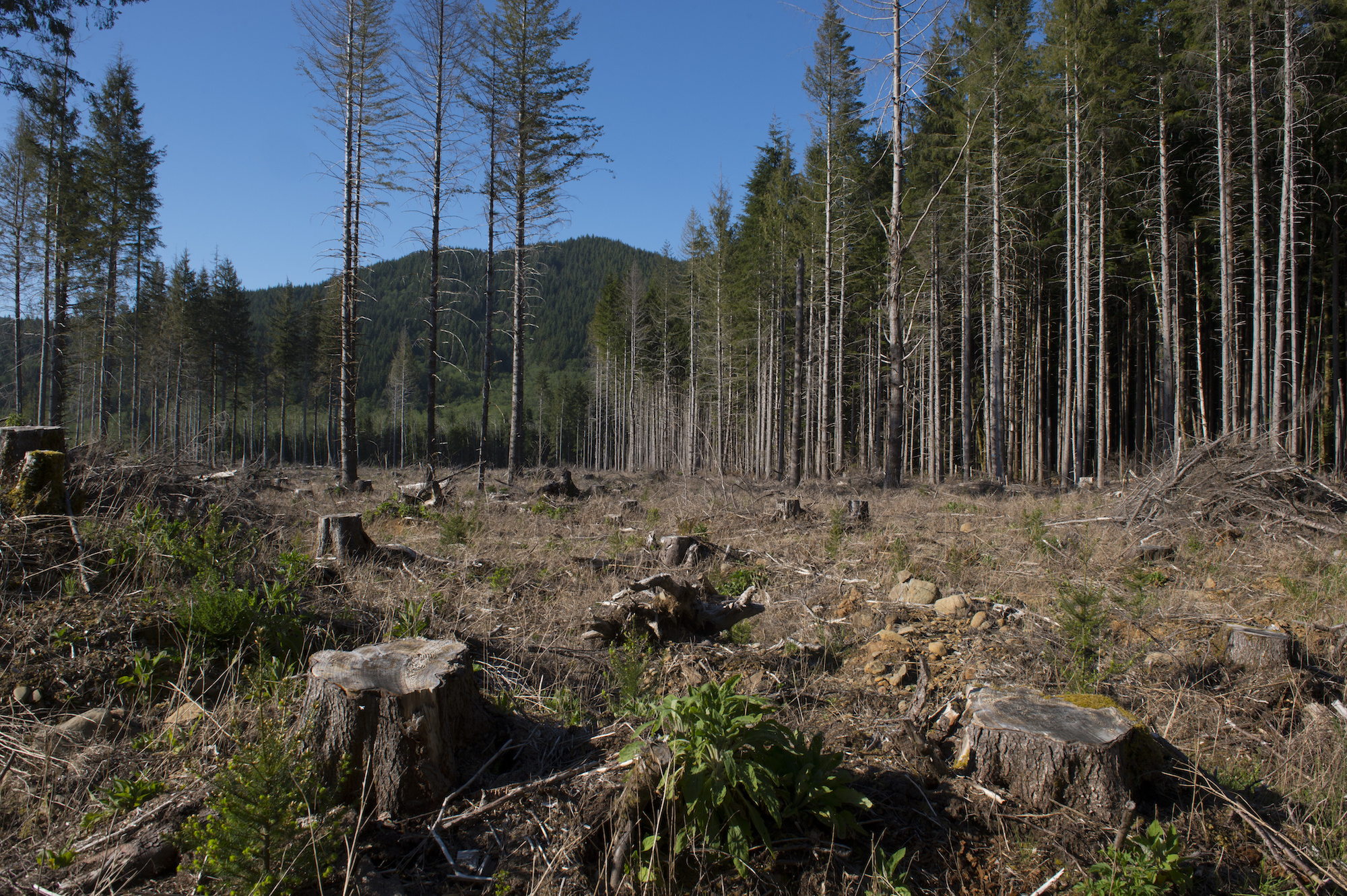 a large field of stumps where large old growth trees once stood. In the background, blue skies and tall green trees.
