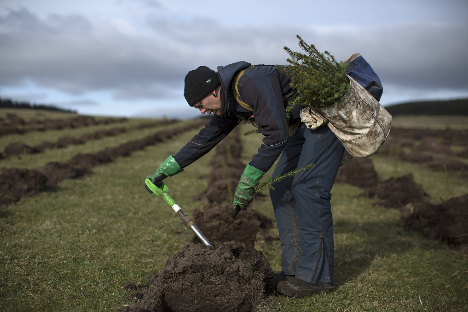 a man in a blue beanie leans over an area with overturned dirt. He carries a young tree in a bag. He is poking the dirt with a tool