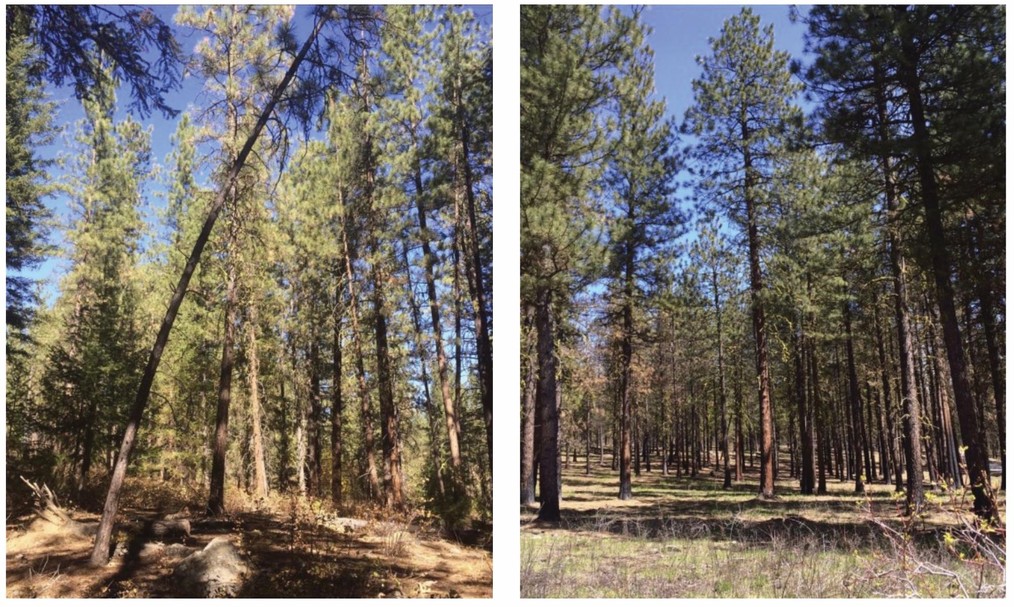 Deux photos du même endroit : à gauche, une photo où les petits arbres n'ont pas été débarrassés du paysage. A droite, une photo où ils ont. C'est une forêt et le ciel est bleu.