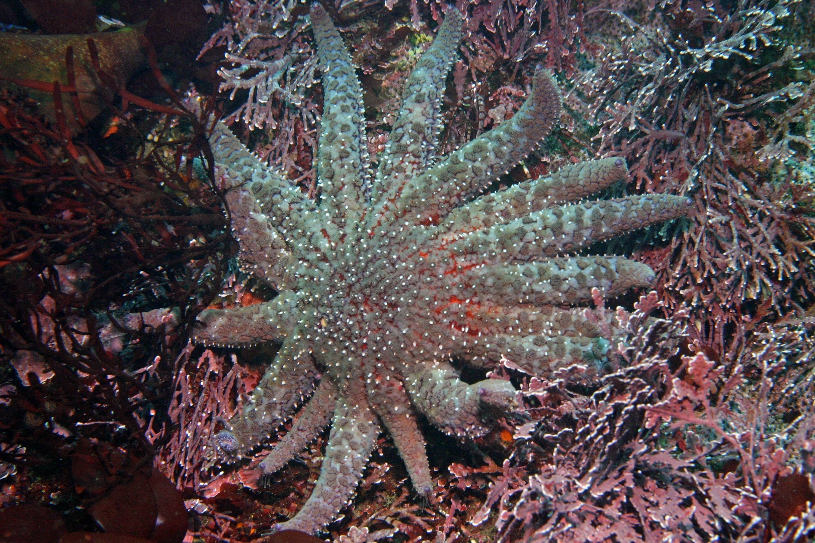 a large purple sea star with 15 legs