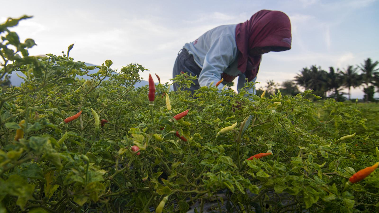 A farmer harvest cayenne peppers.