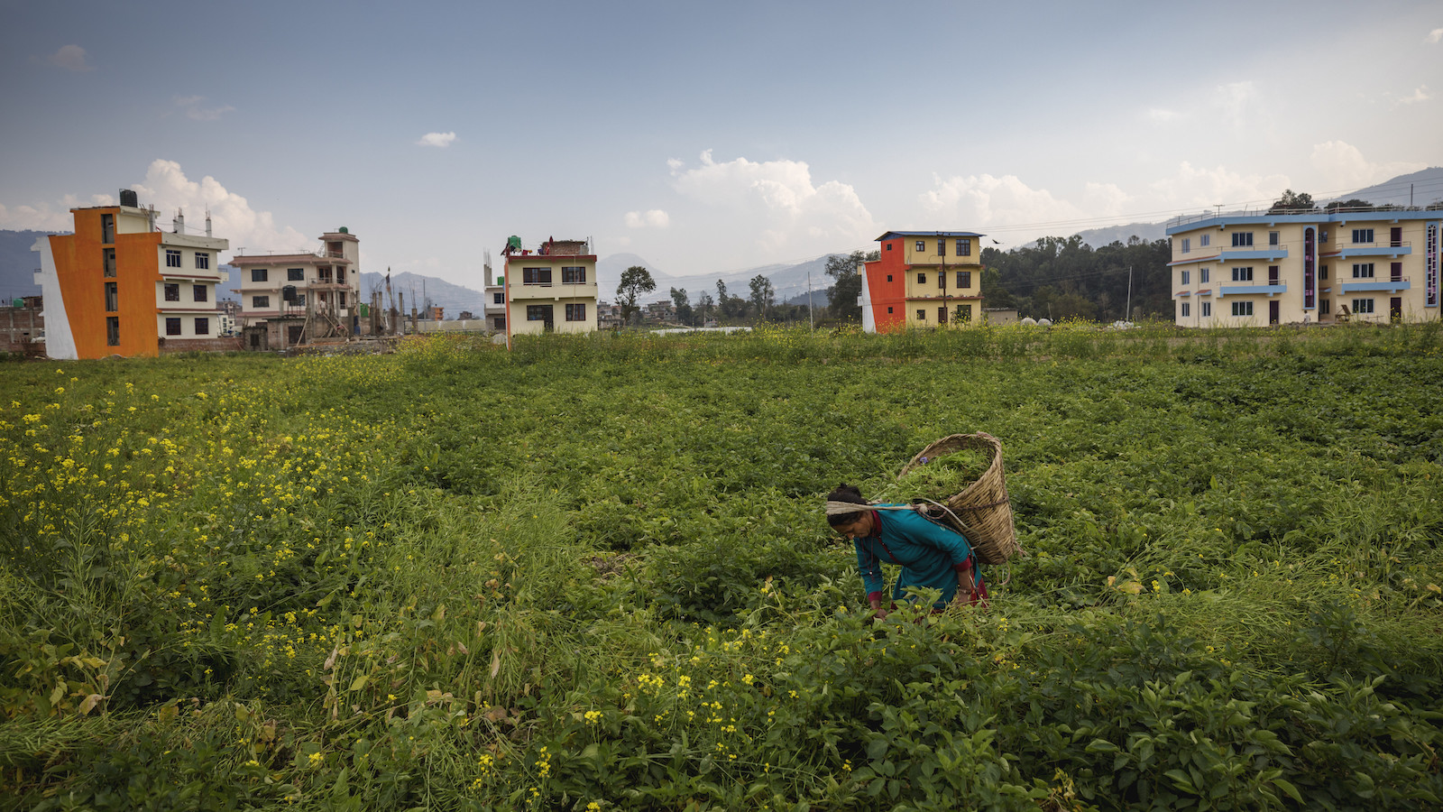 A woman harvests in Nepal.