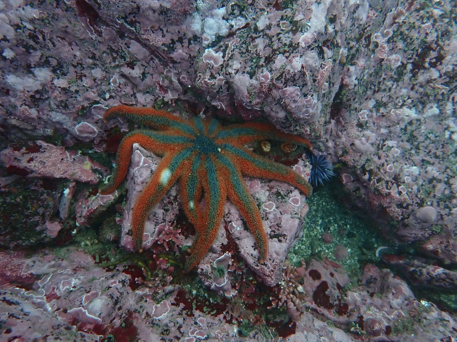 An orange and green sea star with white dots on two of its rays